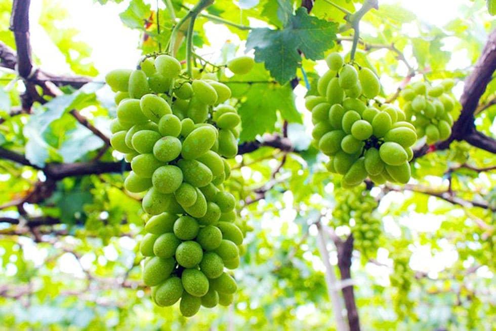 Nho Ninh Thuận mùa nào ngon nhất